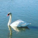 Swan at Lake Nasworthy, San Angelo, TX