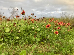 Pretty wildflowers - Galveston Island State Park, TX